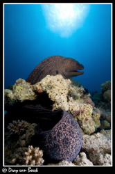 Giant Moray. by Dray Van Beeck 